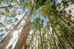 Eucalptus trees