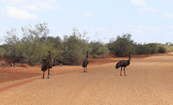 emus on the road