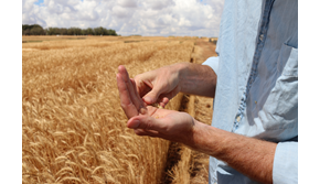 A farmer's hands in close-up in front of a grain field
