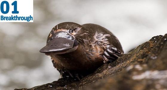 Image of platypus