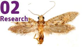 adult kauri moth specimen