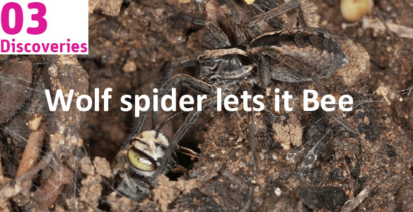 Image of wolf spider and bee