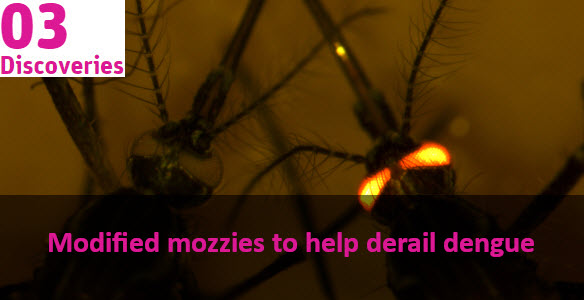 microscopic image of mosquitoes, one with glowing eyes. Text over the top reads Modified mozzies to help derail dengue